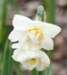 narcis 'Bridal Crown' - Narcissus 'Bridal Crown'
