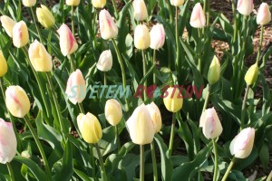 tulipán 'Blushing Girl' - Tulipa 'Blushing Girl'