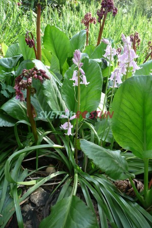 bergenie Purpur Glocken - Bergenia Purpur Glocken